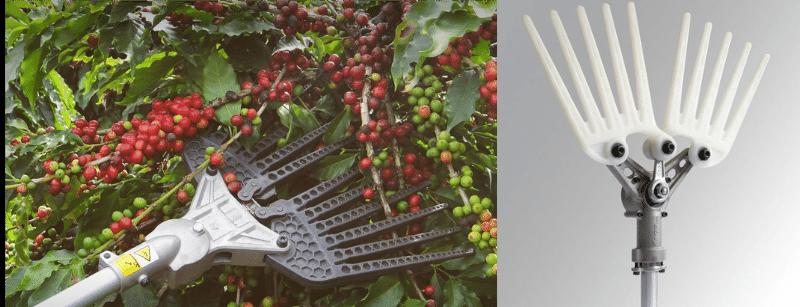Derricadeiras coffee harvesting